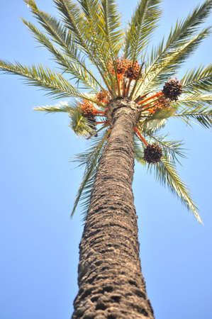 palm tree called phoenix dactilifera photo