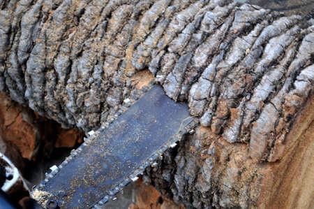 power blade machine  chain cut a palm tree trunk