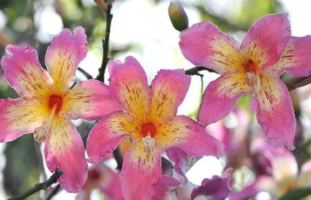 chorisisa speciosa flower rose in springtime beauty Stock Photo