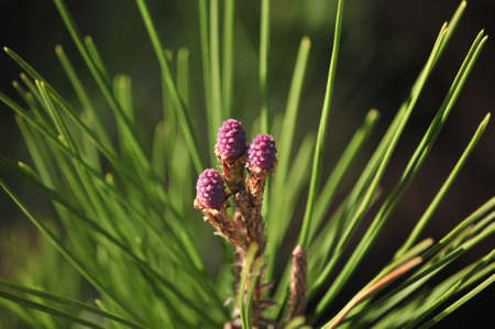 garden fresh floral of pine seasonal Stock Photo