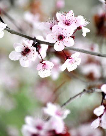 cherry floral tree in garden romantic view Stock Photo