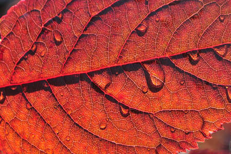 red maple detailed macro close up view with rain water