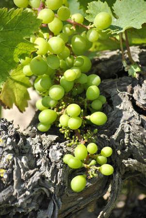 elaboration: harvest grape times vitis vinifera alcohol production winery wine elaboration  Stock Photo