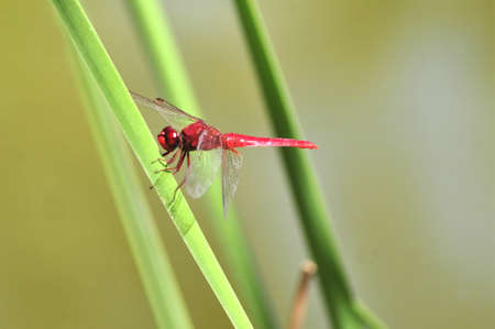 crocothemis: red dragonfly in garden invertebrate insects
