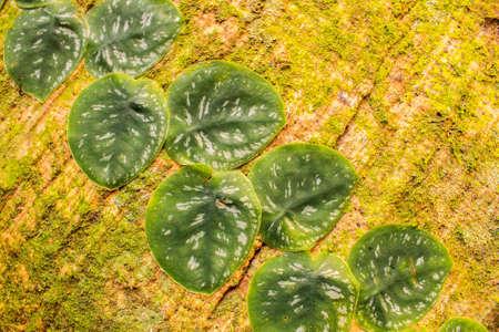 Ficus creeper in Costa Rica
