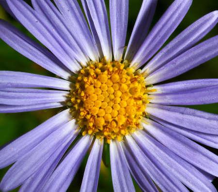 flower dark blue camomile photo