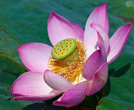 beautiful pink lotuses a close up on the lake photo