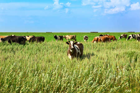 the cow on a green meadow eats a grass Stock Photo