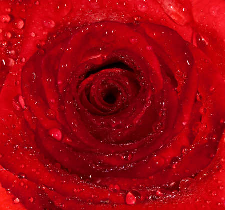 background from a red damp rose with water droplets  Macro Stock Photo