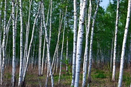 background trees wood birch green grove
