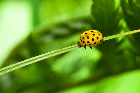 ladybug of yellow color on a grass Stock Photo