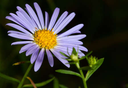 flower dark blue camomile backgrounds