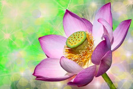beautiful pink lotuses close up background bokeh Stock Photo - 15542824