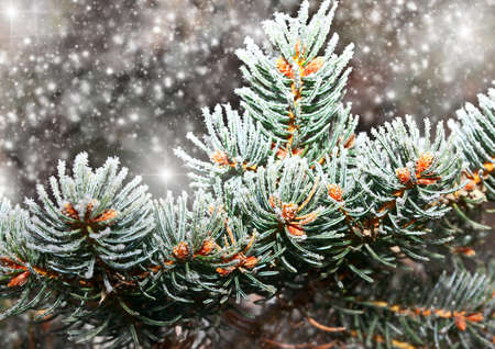 fir-tree branch in snow for new year photo