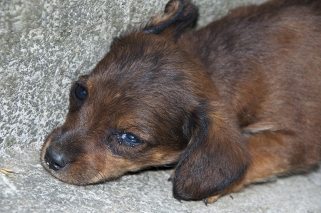 Abandoned  Little  Brown Puppy Closeup photo