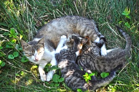breastfeed: Gato de la madre amamantar a dos peque�os cachorros Foto de archivo