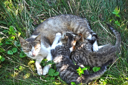 Mother Cat Breastfeed Two Little Cubs photo
