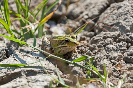 sitting on the ground: Little frog sitting on the dry ground and green grass Stock Photo