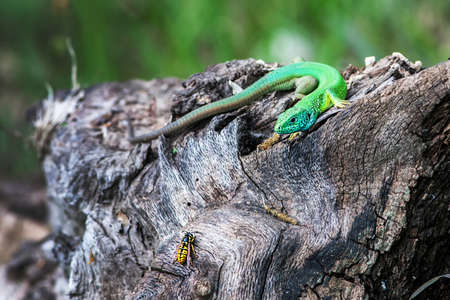 jaszczurka: Lacerta viridis. Zielona jaszczurka Polowanie na osa.