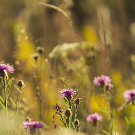 perennial: Brown Knapweed is a common perennial plant in Nordic Countries Stock Photo