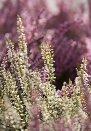 nordic nature: Common Heather is living in the nordic nature. Stock Photo