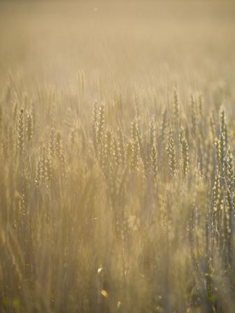 Common wheat in Finnish summer Reklamní fotografie