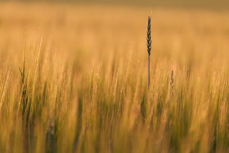 Couch grass ear in a field Reklamní fotografie - 36891910