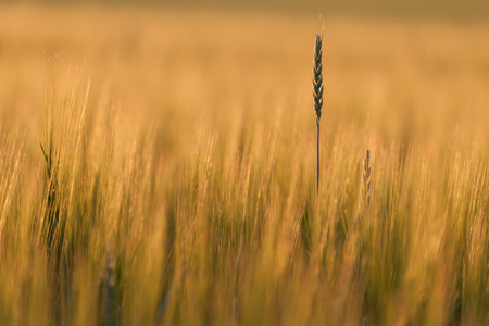 Couch grass ear in a field Zdjęcie Seryjne