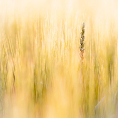 twitch: Couch grass ear in a field Stock Photo