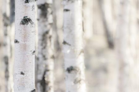 핀란드 숲에서 자작 나무
