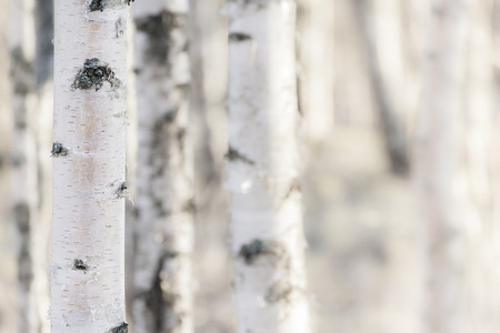 tronco: Árboles de abedul en un bosque en Finlandia Foto de archivo