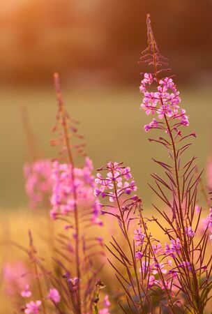 perennial: Great willow-herb is a common perennial in Northern Europe Stock Photo