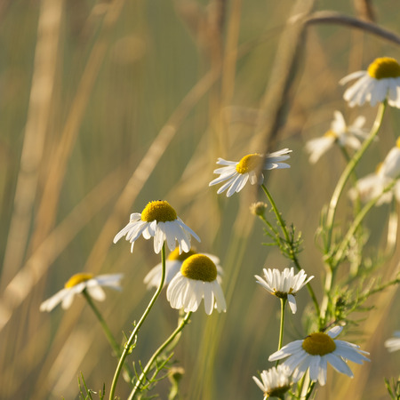 german chamomile: Mayweed flowers in the evening light Stock Photo