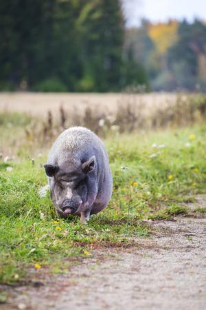 pot bellied: Vietnamese pot-bellied pig as a pet in a farm in Finland Stock Photo