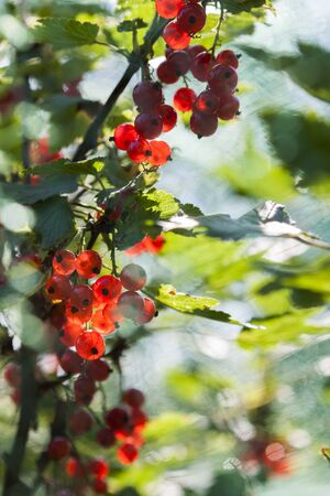 widely: Red Currant is a widely used berry in Finland