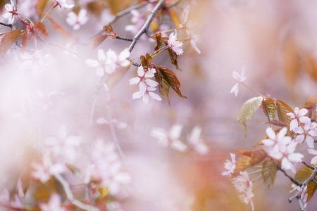helsinki: Pink cherry blossom in Helsinki