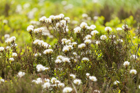 palustre: Wild Rosemary blossoming in Finland