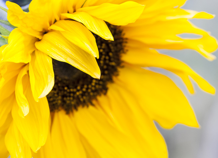 close up image: Yellow sunflower close up image Stock Photo