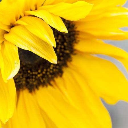 close up image: Yellow sunflower close up image Stock Photo