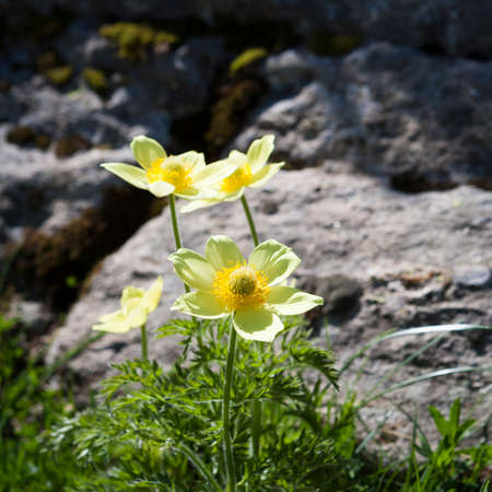 pyrenees: Parsley-leaved Pasqueflower in the Pyrenees