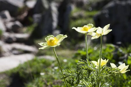 pasqueflower: Parsley-leaved Pasqueflower in the Pyrenees