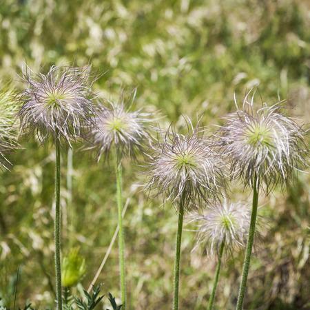 pasqueflower: Seed Heads of European Pasqueflower Stock Photo