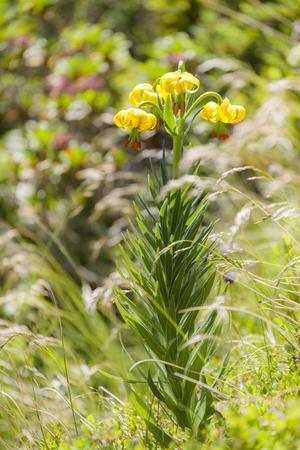 pyrenean: Pyrenean Lily Stock Photo