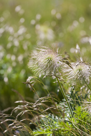 pasqueflower: Seed Heads of European Pasqueflower Stock Photo