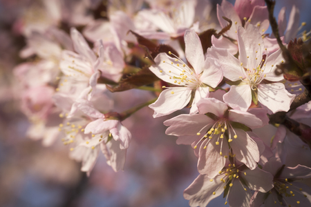 close up image: Close up image of pink cherry tree flowers