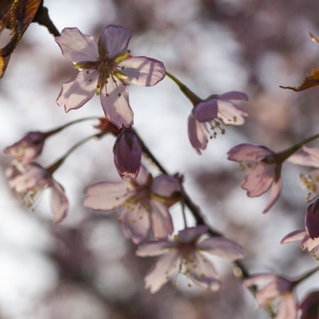 close up image: Close up image of pink cherry tree blossom in Helsinki Stock Photo