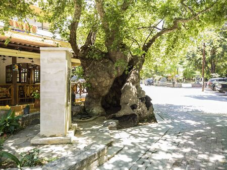 old plane: Old Plane tree in Fodele, Crete