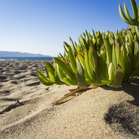ice plant: Ice plant leaves on a Cretan beach