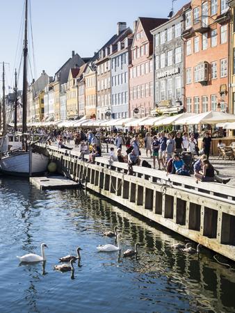 mute swan: Mute swan brood in Copenhagen Editorial