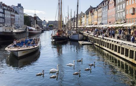 brood: Mute swan brood in Copenhagen Editorial